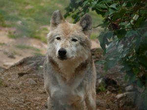 BeraTina-Interview über Krafttiere wolf und Schamanismus