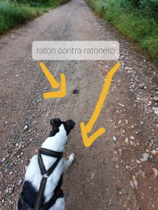 Hund gegen Maus Ratonero Bodeguero Andaluz Romeo von BeraTina
